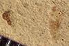 http://mczbase.mcz.harvard.edu/specimen_images/entomology/paleo/large/PALE-39718_Arthropoda.jpg