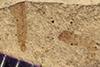 http://mczbase.mcz.harvard.edu/specimen_images/entomology/paleo/large/PALE-39720_Arthropoda.jpg