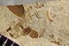 http://mczbase.mcz.harvard.edu/specimen_images/entomology/paleo/large/PALE-39765_Arthropoda.jpg