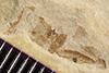 http://mczbase.mcz.harvard.edu/specimen_images/entomology/paleo/large/PALE-39766_Arthropoda.jpg