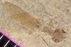 http://mczbase.mcz.harvard.edu/specimen_images/entomology/paleo/large/PALE-39768_Arthropoda.jpg