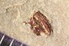http://mczbase.mcz.harvard.edu/specimen_images/entomology/paleo/large/PALE-39942_Arthropoda.jpg