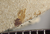 http://mczbase.mcz.harvard.edu/specimen_images/entomology/paleo/large/PALE-39972_Arthropoda.jpg