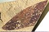 http://mczbase.mcz.harvard.edu/specimen_images/entomology/paleo/large/PALE-40001_Arthropoda.jpg