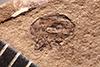 http://mczbase.mcz.harvard.edu/specimen_images/entomology/paleo/large/PALE-4002_Ceutorhynchus_duratus_type.jpg