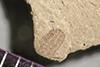 http://mczbase.mcz.harvard.edu/specimen_images/entomology/paleo/large/PALE-40045_Arthropoda.jpg