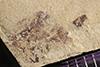 http://mczbase.mcz.harvard.edu/specimen_images/entomology/paleo/large/PALE-40051_Arthropoda.jpg