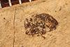 http://mczbase.mcz.harvard.edu/specimen_images/entomology/paleo/large/PALE-4005_Ceutorhynchus_clausus_type_1.jpg