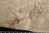 http://mczbase.mcz.harvard.edu/specimen_images/entomology/paleo/large/PALE-40139_Arthropoda.jpg