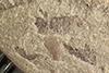 http://mczbase.mcz.harvard.edu/specimen_images/entomology/paleo/large/PALE-40157_Arthropoda.jpg