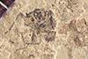 http://mczbase.mcz.harvard.edu/specimen_images/entomology/paleo/large/PALE-40168_Arthropoda.jpg