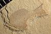 http://mczbase.mcz.harvard.edu/specimen_images/entomology/paleo/large/PALE-40227_Arthropoda.jpg