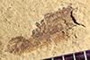 http://mczbase.mcz.harvard.edu/specimen_images/entomology/paleo/large/PALE-40258_Arthropoda.jpg