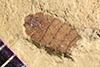 http://mczbase.mcz.harvard.edu/specimen_images/entomology/paleo/large/PALE-40261_Arthropoda.jpg