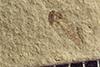 http://mczbase.mcz.harvard.edu/specimen_images/entomology/paleo/large/PALE-40318_Arthropoda.jpg