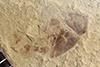 http://mczbase.mcz.harvard.edu/specimen_images/entomology/paleo/large/PALE-40405b_Arthropoda.jpg