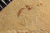 http://mczbase.mcz.harvard.edu/specimen_images/entomology/paleo/large/PALE-40453_Arthropoda.jpg
