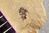 http://mczbase.mcz.harvard.edu/specimen_images/entomology/paleo/large/PALE-40484_Arthropoda.jpg