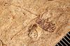 http://mczbase.mcz.harvard.edu/specimen_images/entomology/paleo/large/PALE-4050_Saperdirhynchus_priscotitillator_type_(cp_4049).jpg