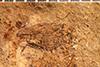 http://mczbase.mcz.harvard.edu/specimen_images/entomology/paleo/large/PALE-4052_Stiraderes_conradi_type_2.jpg