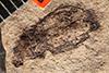 http://mczbase.mcz.harvard.edu/specimen_images/entomology/paleo/large/PALE-4059_Cleonus_exterraneus.jpg