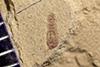 http://mczbase.mcz.harvard.edu/specimen_images/entomology/paleo/large/PALE-40671_Arthropoda.jpg