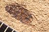 http://mczbase.mcz.harvard.edu/specimen_images/entomology/paleo/large/PALE-4074_Oryctoscirtetes_protogaeum_type_1.jpg
