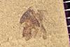 http://mczbase.mcz.harvard.edu/specimen_images/entomology/paleo/large/PALE-40804_Arthropoda.jpg