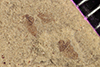 http://mczbase.mcz.harvard.edu/specimen_images/entomology/paleo/large/PALE-40805_Arthropoda.jpg