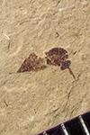 http://mczbase.mcz.harvard.edu/specimen_images/entomology/paleo/large/PALE-40832_Arthropoda.jpg