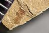 http://mczbase.mcz.harvard.edu/specimen_images/entomology/paleo/large/PALE-40838_Arthropoda.jpg