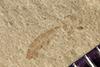 http://mczbase.mcz.harvard.edu/specimen_images/entomology/paleo/large/PALE-40842_Arthropoda.jpg