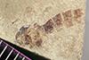 http://mczbase.mcz.harvard.edu/specimen_images/entomology/paleo/large/PALE-40849b_Arthropoda.jpg