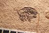 http://mczbase.mcz.harvard.edu/specimen_images/entomology/paleo/large/PALE-4084_Cryptorhynchus_kerri_type.jpg