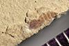 http://mczbase.mcz.harvard.edu/specimen_images/entomology/paleo/large/PALE-40858_Arthropoda.jpg