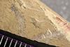 http://mczbase.mcz.harvard.edu/specimen_images/entomology/paleo/large/PALE-40888_Arthropoda.jpg