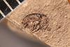 http://mczbase.mcz.harvard.edu/specimen_images/entomology/paleo/large/PALE-4091_Cryptorhynchus_kerri_type.jpg