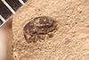 http://mczbase.mcz.harvard.edu/specimen_images/entomology/paleo/large/PALE-4094_Cryptorhynchus_profusus_type_1.jpg