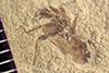 http://mczbase.mcz.harvard.edu/specimen_images/entomology/paleo/large/PALE-41036_Arthropoda.jpg