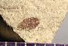 http://mczbase.mcz.harvard.edu/specimen_images/entomology/paleo/large/PALE-41037_Arthropoda.jpg