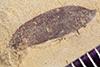 http://mczbase.mcz.harvard.edu/specimen_images/entomology/paleo/large/PALE-41083_Arthropoda.jpg