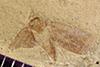 http://mczbase.mcz.harvard.edu/specimen_images/entomology/paleo/large/PALE-41107_Arthropoda.jpg