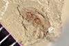 http://mczbase.mcz.harvard.edu/specimen_images/entomology/paleo/large/PALE-41123_Arthropoda.jpg