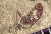 http://mczbase.mcz.harvard.edu/specimen_images/entomology/paleo/large/PALE-41159_Arthropoda.jpg