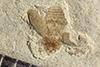 http://mczbase.mcz.harvard.edu/specimen_images/entomology/paleo/large/PALE-41166_Arthropoda.jpg