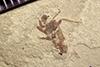 http://mczbase.mcz.harvard.edu/specimen_images/entomology/paleo/large/PALE-41192_Arthropoda.jpg