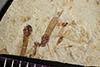 http://mczbase.mcz.harvard.edu/specimen_images/entomology/paleo/large/PALE-41270_Arthropoda.jpg