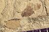 http://mczbase.mcz.harvard.edu/specimen_images/entomology/paleo/large/PALE-41315_Arthropoda.jpg