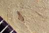 http://mczbase.mcz.harvard.edu/specimen_images/entomology/paleo/large/PALE-41393_Arthropoda.jpg