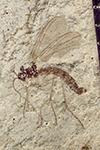 http://mczbase.mcz.harvard.edu/specimen_images/entomology/paleo/large/PALE-41409_Arthropoda.jpg